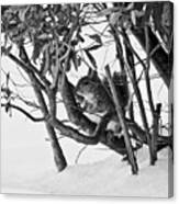 Squirrel In Low Branches Canvas Print
