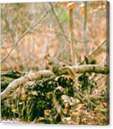 Squirrel In The Woods  Canvas Print