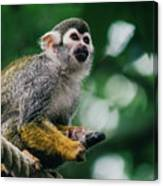 Squirrel Monkey Looking Up Canvas Print