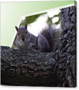 Squirrel On A Limb Canvas Print