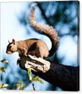 Squirrel On Limb Canvas Print