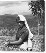Sri Lanka Tea Plantation Canvas Print