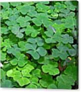 St Patricks Day Shamrocks - First Green Of Spring Canvas Print