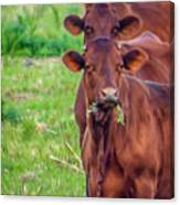 Stacked Up Cows          Canvas Print