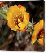 Staghorn Cactus Blossons Canvas Print