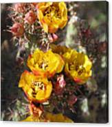Staghorn Cholla Blossoms Canvas Print