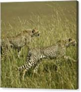 Stalking Cheetahs Canvas Print
