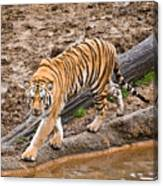 Stalking Tiger - Bengal Canvas Print