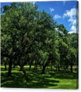 Stand Of Oaks Canvas Print