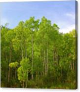Stand Of Quaking Aspen Trees Canvas Print