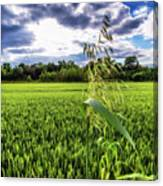 Standing Above The Crop Canvas Print