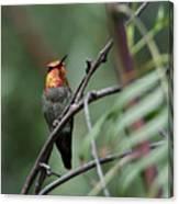 Standing Guard -- Anna's Hummingbird In Templeton, California Canvas Print