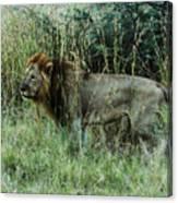 Standing Lion Canvas Print