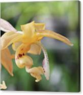 Stanhopea Orchid Canvas Print