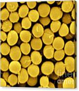 Staphylococcus Capitis Bacteria, Sem Canvas Print