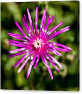 Starburst Of The Wildflowers Canvas Print