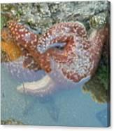 Starfish Sandwhich Canvas Print