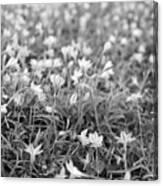Starflower Spring Field Canvas Print