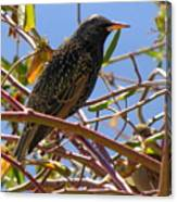 Starling With Sparrow Looking On Canvas Print
