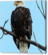 Stately Eagle Canvas Print