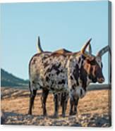 Steers In The Desert Canvas Print