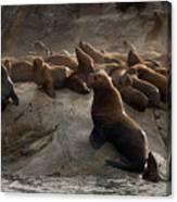 Stellers Sea Lions Eumetopias Jubatus Canvas Print