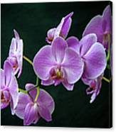 Stem Of Orchids  Canvas Print