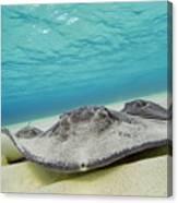 Stingrays Under Water Canvas Print