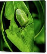 Stink Bug On Leaf Canvas Print