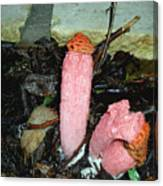 Stinkhorn Canvas Print