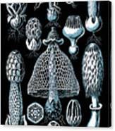 Stinkhorn Mushrooms Vintage Illustration Canvas Print