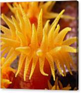 Stony Cup Coral Canvas Print