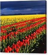 Stormy Tulips Canvas Print