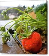 Strawberries And Rain Canvas Print