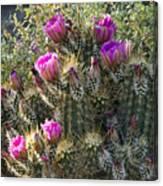 Strawberry Hedgehog Cactus  Canvas Print