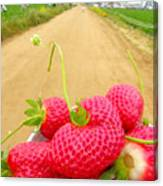 Strawberry Road Canvas Print