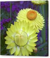 Strawflower Perfection  Canvas Print