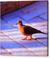 Street Dove Canvas Print