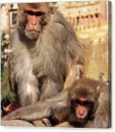 Kathmandu Street Monkeys  Canvas Print