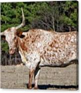 Strike A Pose - Longhorn Style Canvas Print