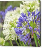 Striking Blue And White Agapanthus Flowers Canvas Print