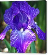 Striped Blue Iris Canvas Print