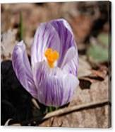 Striped Crocus Canvas Print