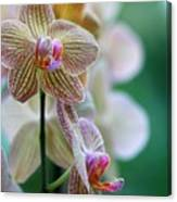 Striped Orchid 1 Canvas Print