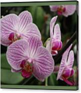 Striped Orchids With Border Canvas Print