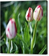 Striped Tulips In Spring Canvas Print