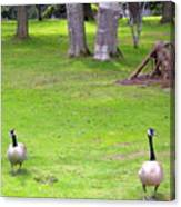 Strolling Canadian Geese Canvas Print