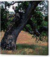 Strong Old Oak Canvas Print
