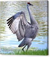Strutting Sandhill Crane Canvas Print