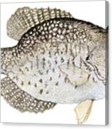 Study Of A Black Crappie Canvas Print